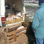 Mohács országos állat és kirakodóvásár 2015. október 17.